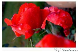red rose by planzman