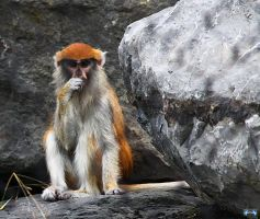 Patas Monkey Is Studying You by LifeThroughALens84