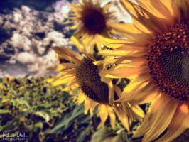 sunflower by nicomoeller
