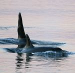 Orcas In Our Midst by sandybuckley