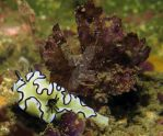 Nudibranch in the wild by starshowerblade