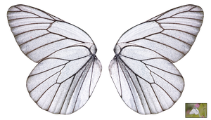 UNRESTRICTED - White Butterfly Wings by frozenstocks