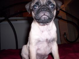 Pheer The PUG by 7thsign