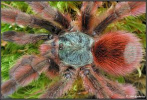 Avicularia versicolor II by Dark-Raptor
