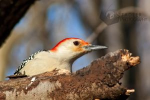 Red Belly Woodpecker by shaguar0508