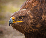 Golden Eagle by Zavorka