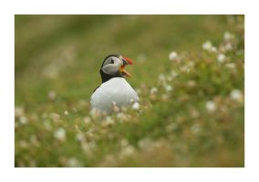Puffin 4 by Wilce