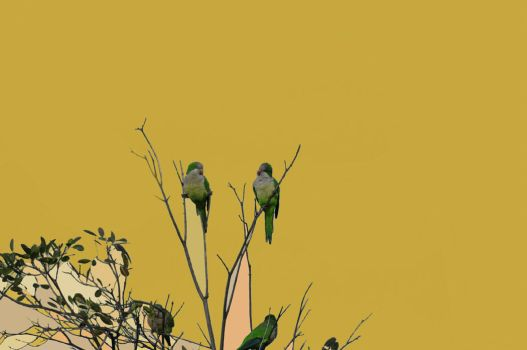 parakeets by sporto
