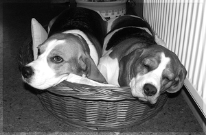 Two beagles in one lair by Morfuska