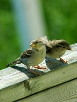 Mom and young sparrows by LucieG-Stock
