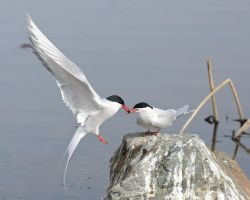 Tern of Love by JWFisher