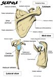 Anatomy: Scapula by BK-81