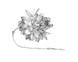 Flower Drawing by KasaLaurend