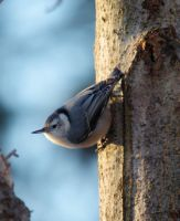 Nuthatch by barcon53