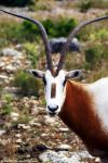 Scimitar Horned Oryx by Riphath