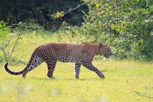 Leopard in Yala national park, Sri Lanka by jaroslavnisler