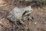 African-Frog 02 by syoul-stock