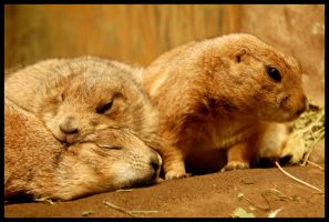 Prairie Dogs by coconut-lane