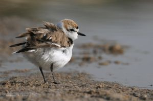 Kentish Plover male in action by UG3