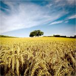 .: Wheat Field II :. by Dave-Ellis