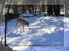 Wolf in the Snow by DolphyDolphiana