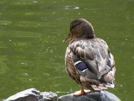 A duck at waterside by Akira-H