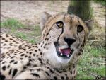 Cheetah: really? A shot of me? by woxys