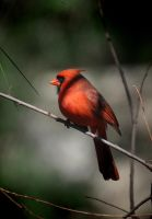 Portrait of a Cardinal 3-11-11 by Tailgun2009