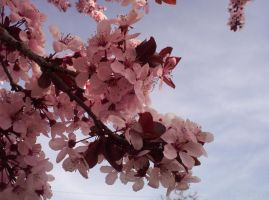 Cherry Blossoms 01 by Sakura222-stock
