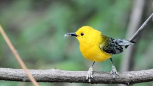 Prothonotary Warbler by njcowles