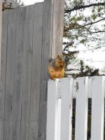 Squirrel on a Fence by laners-08