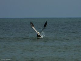 Pelican In Flight by gdsbngd2me