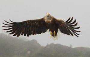 Incoming - White-tailed Eagle by Jamie-MacArthur