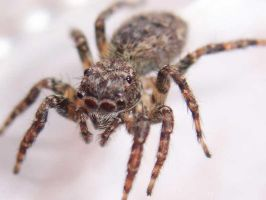 5 mm spider by sitibundo