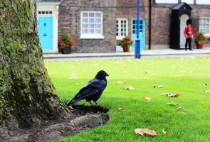 Tower Of London Raven Free Stock by HayzPaling