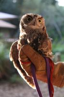 Hunter the Western Screech Owl by 21Momo21