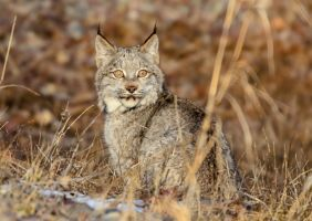 Canadian Lynx XIV by White-Voodoo