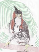 Ornate Hawk-Eagle by Dontknowwhattodraw94