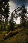 Pine Forest Morning by I-am-Avalon
