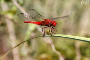 Red Dragonfly (Libellule Rouge) by V-Light