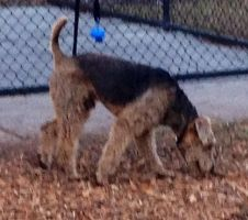 Airedale Terrior 3 by BVS-stock