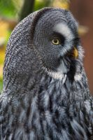 0318 - Great Grey Owl by Jay-Co