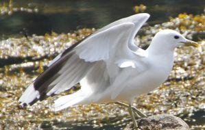 Seagull 9 by Chance-STOCK