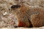 Springtime Woodchuck by natureguy