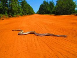 Florida Pine Snake by SimusSays