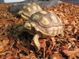 Baby Sulcata Tortoise by ReptileMan27