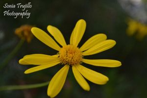 Yellow Daisy by davidnguyen408
