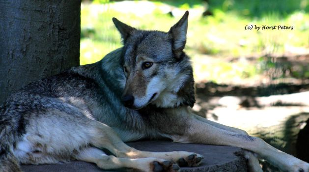 Timberwolf in the Shadow by bluesgrass