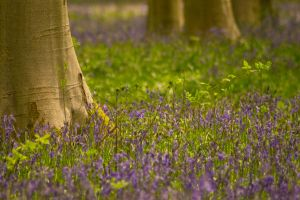 The Bluebell Woods by Kaz-D