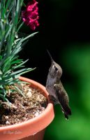 Baby Hummingbird by StephGabler